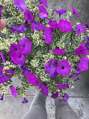 Petunia Glamophlage Grape